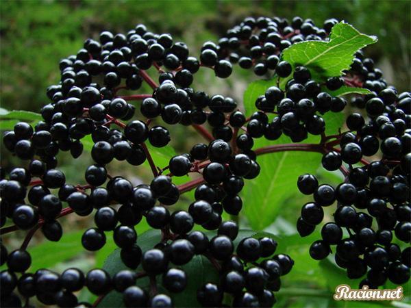 черная бузина полезные свойства рецепты приготовления ягод